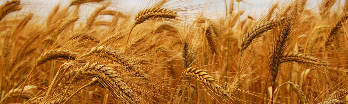 Blue-North-South-African-Sustainability-Consultants-Wheat-Farm