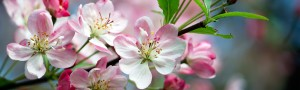 Blue-North-South-African-Sustainability-Consultants-Pink-Blossoms