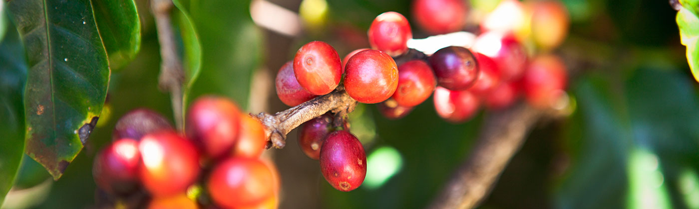 Blue-North-Sustainability-Coffee-Agriculture