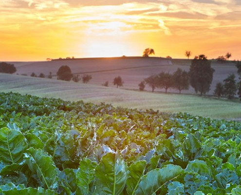 Blue-North-Sustainability-Consultants-Beets-agriculture